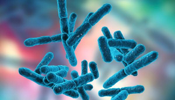 DG - Rod-shaped bacteria used as probiotics