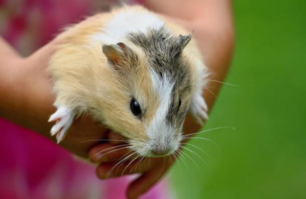 Young woman carrying a hamster
