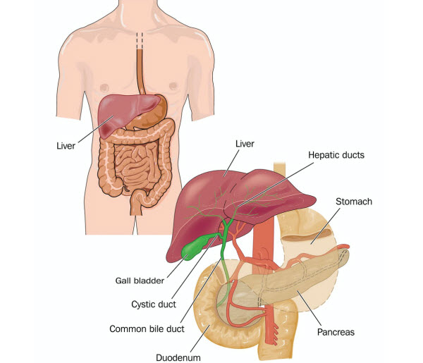 DG - Human anatomy