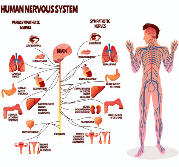 DG - Human nervous system